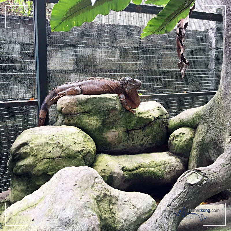 A Day With Animals @ Farm In The City 城の农场 - Is this an Iguana?